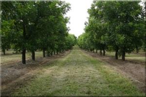 pecan_orchard